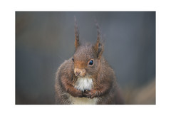 Little guy (Yannick Megard) Tags: animal animals animaux roux forest wood nature natural naturel wild wildlife discover meeting portrait bokeh sony alpha7iii a7iii ilce7m3 outdoor alone ecureuil écureuil squirrel explore inexplore exploring beauty earth foret forêt