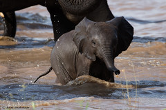 Elephant Calf (leendert3) Tags: leonmolenaar southafrica krugernationalpark wildlife wilderness wildanimal nature naturereserve naturalhabitat mammal africanelephant