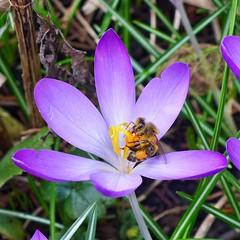 der Frühling ist da! (mama knipst!) Tags: blume krokus macro biene insekt flower