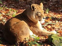 african lion Burgerszoo BB2A0249 (j.a.kok) Tags: animal cat kat mammal zoogdier dier predator burgerszoo leeuw lion africa afrika afrikaanseleeuw africanlion pantheraleoleo