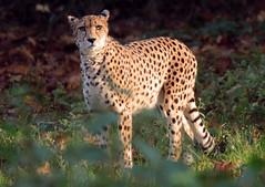 cheetah Burgerszoo BB2A0120 (j.a.kok) Tags: animal cat kat mammal zoogdier dier predator burgerszoo africa afrika cheetah jachtluipaard