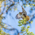 Buzzard calling out from the top of a tree