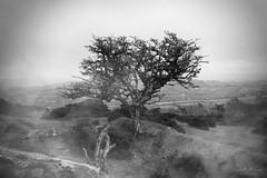 Nr Middle Tor - Dartmoor (pm69photography.uk) Tags: trees tree twisted devon dartmoor dartmoornationalpark bw blackandwhite moody monochrome moor moors atmospheric atmosphere ilovedevon ilce7rm3 ilovedartmoor southwest sonya7r3 sonya7riii sony
