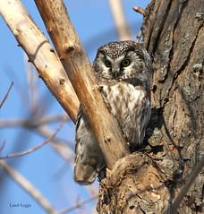 Boreal Owl (leggo.laird) Tags: boreal owl raptor north winter rare borealowl wildlife hunter canon7d northern northernowl forest borealspecies