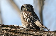 Northern Hawk-Owl (leggo.laird) Tags: borealspecies northerhawkowl hawkowl owl raptor hunter winter trees northern rare northernowl canon7d wildlife