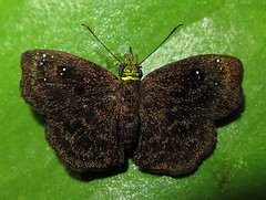 Staphylus chlora (Over 6 million views!) Tags: butterfly ecuador hesperiidae staphyluschlora insect butterflies