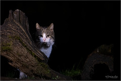 Cat near a photo hide location (Gertj123) Tags: animal mammals canon night vledder tree thenetherlands hide feline domestic wildlife nature
