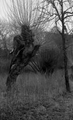 Leinemasch 3 (salparadise666) Tags: zorki 3m industar 22 agfa apx 100 caffenol rs 20min nils volkmer rangefinder russian film analogue willows hannover leinemasch germany vintage lens nature landscape