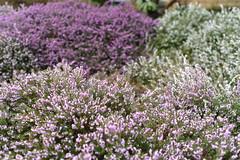 Heather, tis the season (D70) Tags: gardenvillage burnaby britishcolumbia heather tistheseason winter pink white mauve garden bokeh nikon d750 ƒ35 500mm 150
