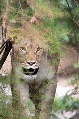 Lioness hidding behind a bush (Cloudtail the Snow Leopard) Tags: tier animal säugetier mammal cat big katze groskatze raubkatze lion löwe panthera leo predator beutegreifer lioness female zoo basel
