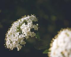 P1210867 (Trude Graz) Tags: blumenundpflanzen botanischergarten graz weiss white