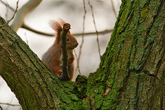Eurasian red squirrel (Sciurus vulgaris) (Cudak) Tags: wiewiórka pospolita red squirrel mammal wild wildlife hobby nature