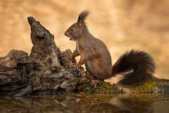 Scoiattolo rosso (marypink) Tags: sciurusvulgaris scoiattolorosso sciuridae roditori mammiferi nikond500 nikkor80400mmf4556 mammalia capannoparide squirrel