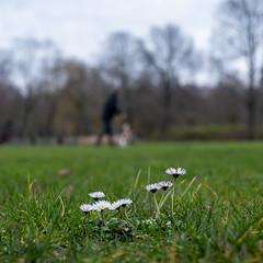 Madeliefje - Daisy (naturum) Tags: 2020 amsterdam bellisperennis bloem daisy februari february flower geo:lat=5235887162 geo:lon=491919223 geotagged holland madeliefje nederland netherlands oosterpark winter noordholland