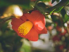 P1210886 (Trude Graz) Tags: blumenundpflanzen botanischergarten graz rot red
