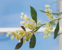 P1210864 (Trude Graz) Tags: blumenundpflanzen botanischergarten graz white weiss