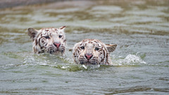 Tigresses swimming (Tambako the Jaguar) Tags: cute cat big action bathing bengal d5 crémines two playing water female swimming fun switzerland pond nikon head tiger surface together tigress sikypark wild white zoo young