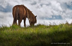 "Peacefully Grazing (Ade Ward Phototherapy.) Tags: ""ngc"" ngc tranquility rural mountains hills nikon scenery landscape wildlife nature explore cloud sky wales animals grazing horse wildhorses nationalpark breconbeacons brecon"