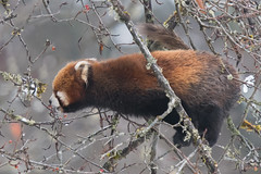 Worth that extra bit of effort? (Tim Melling) Tags: ailurus fulgens styani chinese red panda sichuan timmelling