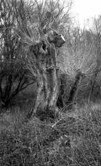Leinemasch 2 (salparadise666) Tags: zorki 3m industar 22 agfa apx 100 caffenol rs 20min nils volkmer rangefinder russian film analogue willows hannover leinemasch germany vintage lens nature landscape