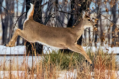 Jumpy Deer (Photo-A-Peal) Tags: deer wildlife animal venison doe whitetail colorado nature mammal