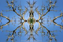 DSC00556-Edit (Paul S Jenkins Photography) Tags: arborealkaleidography branches kaleidograph kaleidography tree waterlooville england unitedkingdom