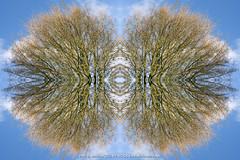 DSC00541-Edit-2 (Paul S Jenkins Photography) Tags: arborealkaleidography branches kaleidograph kaleidography tree waterlooville england unitedkingdom