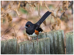 Eastern Towhee (jiroseM43) Tags: birds easterntowhee nature olympus olympusm75300mmf4867ii em1markii m43