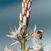 gamonito y abeja