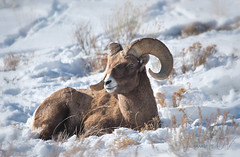 a watchful eye (laura's Point of View) Tags: bighornsheep ram wildlife animal winter snow cold jacksonhole wyoming lauraspointofview lauraspov