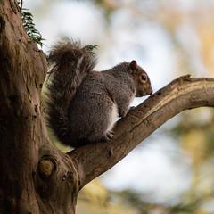 Tree'd (adrian.sadlier) Tags: squirrel greysquirrel nature wildlife dublin st annes tree branch closeup
