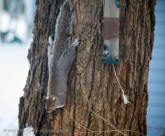 2020-02-16 18.18.20 (_97A2939) (mikeconley) Tags: squirrel snow winter cold vermont tree bark feeder canoneos5dmarkiv sigma150500mmf563apodgoshsm