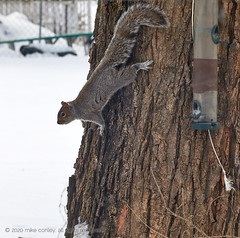 2020-02-16 18.17.55 (_97A2937) (mikeconley) Tags: squirrel snow winter cold vermont tree bark feeder canoneos5dmarkiv sigma150500mmf563apodgoshsm