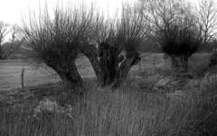 Leinemasch 1 (salparadise666) Tags: zorki 3m industar 22 agfa apx 100 caffenol rs 20min nils volkmer rangefinder russian film analogue willows hannover leinemasch germany vintage lens nature landscape