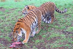 Yorkshire Wildlife Park (SR Photos Torksey) Tags: yorkshire wildlife park doncaster zoo tiger big cat animal wild