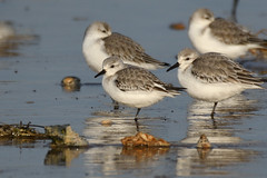 Sanderling Titchwell RSPB Norfolk b10 (JohnMannPhoto) Tags: sanderling titchwell rspb norfolk waders beach