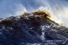 Herring Gull in Storm Dennis (Larus argentatus) (gcampbellphoto) Tags: larusargentatus herring gull bird flight bif nature wildlife storm waves north atlantic northern ireland antrim gcampbellphoto