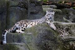 Snow leopard on a rock (Cloudtail the Snow Leopard) Tags: schneeleopard tier animal mammal säugetier katze cat feline irbis snow leopard big gros raub beutegreifer panthera uncia snep zoo basel