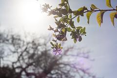 Neighborhood (peaceblaster9) Tags: sun sunlight tree flower flare ghost sky california spring oldlens nature bloom 日差し 日光 木 花 フレア ゴースト 空 カリフォルニア 春 オールドレンズ 自然 草木 近所 散歩 neighborhood walk sonyalpha7iii carlzeissjenapancolar50mmf18
