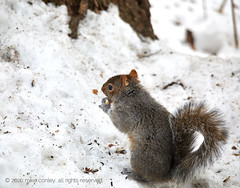 2020-02-16 17.51.28 (_97A2934) (mikeconley) Tags: squirrel snow winter cold vermont seed eat food canoneos5dmarkiv sigma150500mmf563apodgoshsm