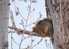 It's... so... coooolldd! (Shedugengan) Tags: cold winter squirrel