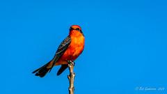Vermilion Flycatcher (Bob Gunderson) Tags: birds california centralvalley colusacounty empidonaxflycatchers flycatchers maxwellcemetery northerncalifornia pyrocephalusrubinus vermilionflycatcher