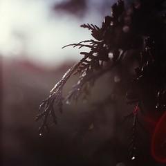 January (Der Ohlsen) Tags: kiev88 volna extensiontube analog mediumformat mf 120 6x6 square expired colour film c41 agfaoptima200 closeup schleswigholstein deutschland germany bokeh