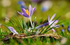 Ein schöner Tag hat begonnen (KaAuenwasser) Tags: krokusse krokus blüten botanischergarten garten park wiese licht sonnenlicht rasen gras gräser jahreszeit farbe farben nah makro bokeh zier zierpflanze zierblume zierde
