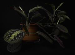 Maranta 1 (C J Freeman) Tags: plant black canon dark studio houseplant prayerplant maranta 60d wetpot marantaleuconeura leuconeura 🌱 peacockplant