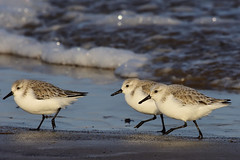 Sanderling Titchwell RSPB Norfolk b (JohnMannPhoto) Tags: sanderling titchwell rspb norfolk waders beach