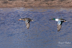 February 15, 2020 - Northern shovelers in flight. (Tony's Takes)