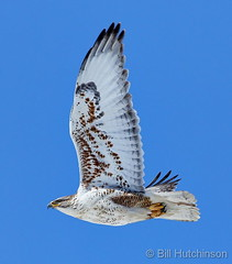 February 15, 2020 - A ferruginous hawk takes flight. (Bill Hutchinson)