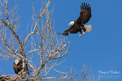 February 15, 2020 - Action at a bald eagle nest. (Tony's Takes)