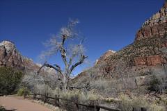 Pa'rus Trail (Runemaker) Tags: parus trail zion nationalpark utah winter tree hiking fence nature landscape nikon d750